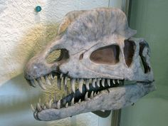 Dilophosaurus skull cast - Dilophosaurus - Wikipedia, the free encyclopedia
