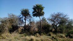 #landscape #paisaje #trees #palmeras #arboles #grass #pasto #nature #naturaleza #beautiful #belleza #corrientes