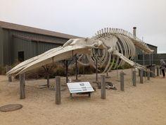 Blue Whale skeleton. UC, Santa Cruz Marine Lab.