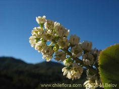 Image of Escallonia pulverulenta (Madroño / Corontillo / Siete camisas). Click to enlarge parts of image.