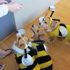 Corgi swarm (Killer Bees!)  :-) Hysterical
