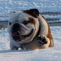 The major breeds of bulldogs are English bulldog, American bulldog, and French bulldog. The bulldog has a broad shoulder which matches with the head. Bulldog Pics, English Bulldog Puppies, British Bulldog, Cute Puppies, Cute Dogs, Dogs And Puppies, Doggies, Sweet Dogs, Cute Bulldogs