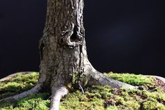 Hawthorn twin bonsai