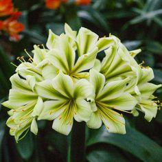 Clivia miniata, Koike 3503 x Koike 3508.  Colorado Clivia's plant no. 2295B.