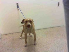 ROCK - URGENT - Miami Dade Animal Services in Miami, Florida - ADOPT OR FOSTER - 3 year old Neutered Male Am. Bulldog Mix - at shelter since July 1, 2016