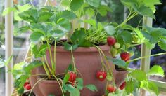 Great Ways to Grow Strawberries in Containers Family Food Garden-So many ways to grow strawberries! Growing strawberries in containers, strawberry planters Growing Strawberries In Containers, Growing Vegetables In Containers, Grow Strawberries, Fresh Vegetables, Strawberry Planters, Strawberry Garden, Strawberry Smoothies, Container Plants, Container Gardening