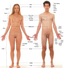 Human - Basic anatomical features of female and male humans. These models have had body hair and male facial hair removed and head hair trimmed. The female model is wearing red nail polish on her toenails and a ring.