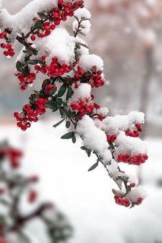 Snowy Berries.