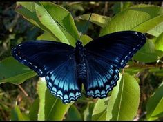 Red Spotted Purple Male - Red Spotted Purple - Raising Butterflies--How to find and care for butterfly eggs and caterpillars Purple Butterfly Tattoo, Monarch Butterfly, Gossamer Wings, Moth Caterpillar, Butterflies, Raising, Red, Dragonflies, Mushrooms