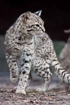 *Wild Cat (by Arjan Haverkamp)