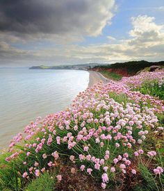 Sea Thrift on the coast at Dawlish, Devon, England, UK