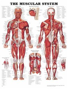 muscle anatomy shorthand version! Biceps, triceps, pecs, back, abs, gluts, hamstrings, quads, calves!