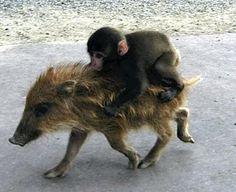 Flere sjove dyr billeder funny animals riding other animals 001