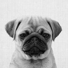Pet Training - Print 44 en Affiche premium par Lila x Lola Happy Animals, Animals And Pets, Funny Animals, Cute Animals, Pugs, Animals Black And White, Black Dogs, Black White, Baby Posters