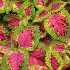 Coleus flower seeds produce fantastic foliage that is a welcome addition to shady borders and containers. Coleus seeds readily germinate and grow quickly. Planting Seeds, Planting Flowers, Flower Gardening, Container Gardening, Seeds For Sale, Herb Seeds, Annual Flowers, Leaf Coloring, Foliage Plants