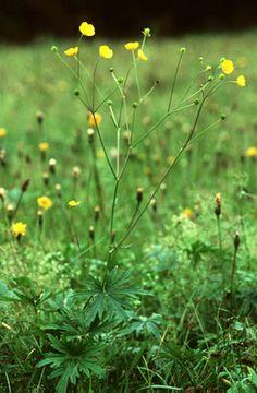 Réti boglárka (Ranunculus acris, Ranunculaceae) (Seregélyes Tibor felvétele)