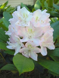 Rhododendron maximum | Flickr - Photo Sharing!