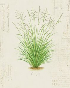 Vintage Botanical Plant Grass Tussock Grass on | Etsy Antique Illustration, Plant Illustration, Botanical Illustration, Grass Drawing, Botanical Prints, Botanical Drawings, Paper Texture, Science And Nature, Botany