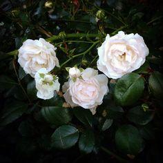 Lovely roses in our garden.