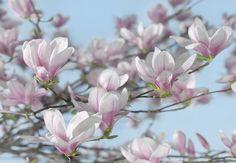 Komar Fotobehang Magnolia 8-738