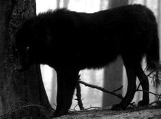 black wolf-I got 2 of those Beautiful Creatures, Animals Beautiful, Cute Animals, Wolf Love, Beautiful Wolves, Big Bad Wolf, Lone Wolf, My Animal, Power Animal
