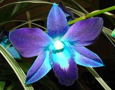 blue and purple orchids Beautiful Flowers Garden, Amazing Flowers, Pretty Flowers, Blue Flowers, Orchid Flowers, Unique Flowers, Blue Orchid Tattoo, Blue And Purple Orchids, Wedding Colors
