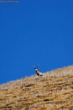 Bramito del cervo in Val Chisone