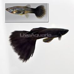 Moscow Black Velvet Guppy