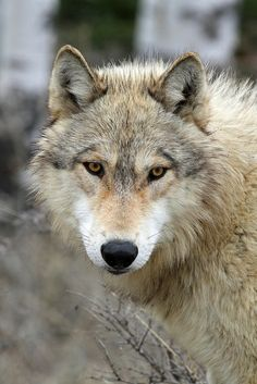 ☀Gray Wolf by Peter Eades on Flickr*