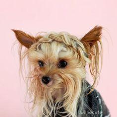 Meet Willamina (aka Williecute), the furry faced pup with dozens of stylish hairdos.