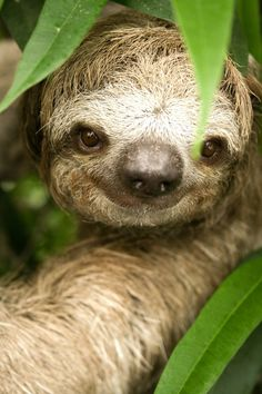 This sloth is smiling because he's been playing hide and seek for two weeks and you just found him!