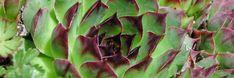 Huislook, eerste hulpmiddel bij uitstek Succulents, Nature, Plants, Naturaleza, Succulent Plants, Plant, Nature Illustration, Off Grid, Planets