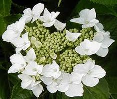 Hydrangea macrophylla Lacecap White . A plant for all gardens. Very floriferous, covered in large flower heads which sometimes completely enshroud the bush. Part sun / shade, Wind and coastal tolerant. 1.0 -1.5m H x W. Depending on soil pH fertile centre flowers may stay green or turn pink or [...]