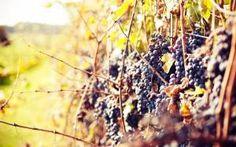 Обои Виноградник, скачать картинки лоза, кусты, плоды, синие, темные на рабочий стол бесплатно, раздел природа - скачать фото