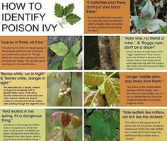 Move it and lose it.: HOW TO IDENTIFY POISON IVY Lynn Margulis, Poison Ivy Cure, Poison Ivy Remedies, Identify Poison Ivy, Poison Ivy Plants, Poison Oak Plant, Poisonous Plants, Poisonous Mushrooms, Poisonous Snakes