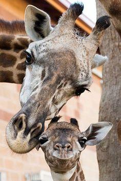 Baby giraffe born at Houston Zoo Zoo Animals, Animals And Pets, Funny Animals, Cute Animals, Wild Animals, Funny Animal Pictures, Cute Pictures, Beautiful Creatures, Animals Beautiful