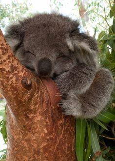 Snuggling Koala Cute!