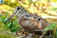 ☎️ https://www.facebook.com/WonderBirdSpecies/  Eurasian woodcock (Scolopax rusticola); Temperate and subarctic Eurasia;  IUCN Red List of Threatened Species 3.1 : Least Concern (LC)(Loài ít quan tâm)  Dẽ gà; Á-Âu ôn đới và cận Bắc cực; HỌ DẼ-SCOLOPACIDAE (Sandpipers).