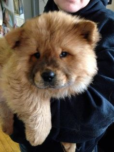 Chow Chow Oh, I want to hug you!