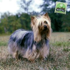 Raza AUSTRALIAN SILKY TERRIER, descubre más sobre tu mascota en nuestra wiki especializada. (Próximamente disponible) www.petcivi.com/