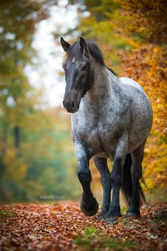 Big beautiful draft size gray grey horse in autumn horse photography.