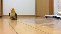 日本のインコの歩きっぷりを見れば「元気になれる!」と海外で話題に笑