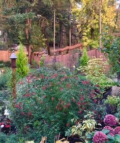 Magellanica fuchsia and autumn colors.