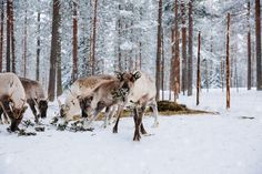 Reindeers in a winter forest farm in Lapland. Finland by nblxer. Reindeers in a snow winter forest farm in Lapland. Finland : Reindeers in a winter forest farm in Lapland. Finland by nblxer. Reindeers in a snow winter forest farm in Lapland. Winter Forest, Deer Farm, Lapland Finland, Lappland, Free Graphics, Woodland Party, Galaxy Wallpaper, Studio, Reindeer