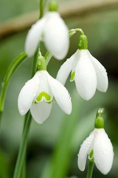 Snow Drop Spring flowers (remind me of my favorite neighbour who is 96, lives alone and gardens. These are her fav