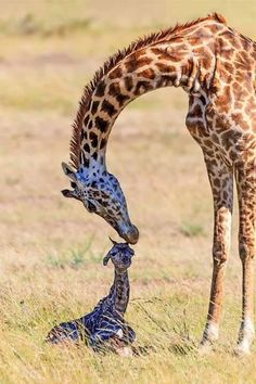 Everytime i see a giraffe I think of my wonderful granddaughter. ~~Birth of a Giraffe Cute Baby Animals, Animals And Pets, Funny Animals, Wild Animals, Newborn Animals, Giraffe Pictures, Animal Pictures, Beautiful Creatures, Animals Beautiful
