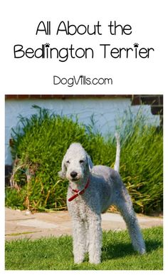 The Bedlington Terrier is one of the most famous dogs with a charming personality. Is he also hypoallergenic? Find out!