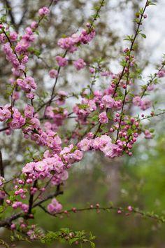Rosenmandel, Prunus triloba