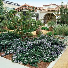 Ceanothus 'Yankee Point' - Drought Tolerant Front Yard Lanscaping - Sunset Mobile