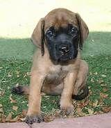 English mastiffs english mastiff puppies and old english mastiffs
